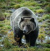 Grizzly Bear Grand Teton (rudywilms.com) Tags: rudywilms grandtetonnationalpark grizzlybear northamericanbrownbear nikond7200 wwwrudywilmscom wyoming