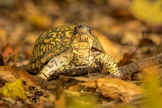 Phillip the Box Turtle
