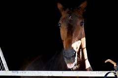 Semaine du cheval 2017 (cedric.harbulot) Tags: nikon d5300 18250mm sigma nouvellecalédonie cheval portrait animal animaux horse newcaledonia