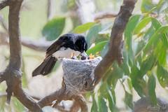 Mother Willie DSC_3887 (BlueberryAsh) Tags: craigieburn birds williewagtail chicks nest bird victoria tamron150600 nikond500 nature wildlife young