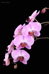 Phalaenopsis NOID (Harlz_) Tags: phalaenopsis orchid flower bloom