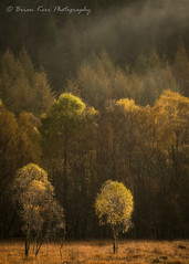 Glen Cannich - The Little Ones (.Brian Kerr Photography.) Tags: glencannich scotland scottishlandscapes scottish scotspirit scottishlandscape birches autumn scotspines trees colour landscape photography landscapephotography mist mistymorning light availablelight a7rii sony nature naturallandscape natural outdoor outdoorphotography opoty golden briankerrphotography briankerrphoto glen cannich kerrowhouse forest tree