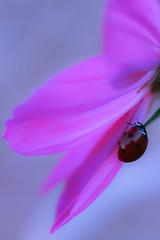 Draped lady (Lía-H) Tags: coccinelle fleur ladybird ladybug soft softness insecte proxy