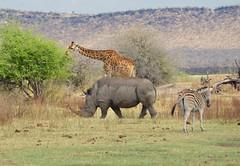 An Unusual Threesome (The Spirit of the World) Tags: medikwegamereserve mountains grasslands wildlife safari africa southafrica africananimals giraffe rhino zebra unusual rare nature africanscene mammals ngc npc