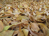 302/365 Quick Pic (Helen Orozco) Tags: leaves fallen autumn fall g12 2017365