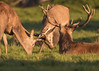 Studley #1 (G&R) Tags: studley royal deer park ripon north yorkshire canon 7d2 sigma 150 600 rut rutting