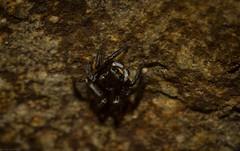 undescribed micro-jumper (dustaway) Tags: arthropoda arachnida araneae araneomorphae salticidae jumpingspider araignee spinne australianspiders clagirabaforestreserve clagiraba coomeravalley sequeensland queensland australia nature natur cvjumper genus
