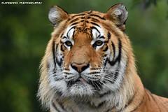 Siberian tiger - Zoo Amneville (Mandenno photography) Tags: dierenpark dierentuin dieren animal animals siberian siberische tiger tijger tigers france frankrijk bigcat big cat kumal