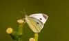 _U7A6567 (rpealit) Tags: scenery wildlife nature east hatchery alumni field hackettstown cabbage white butterfly