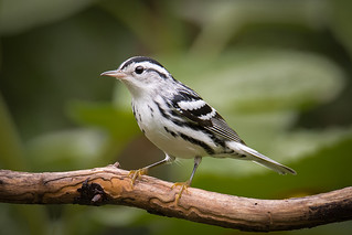 Black and White Warbler 070617a copy