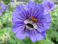 Johnsons Blue... (Marie on Flickr) Tags: johnsons blue garden bee