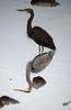 heron inverted (MTSOfan) Tags: bird heron greatblueheron knightlake water aquatic reflection inverted upsidedown