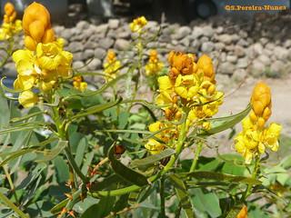Candle Bush Flower, Candelabro, Fedegoso gigante, El Salvador
