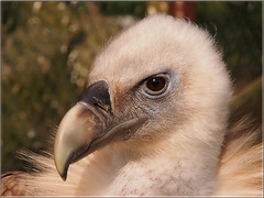 Himalayan vulture (Ostseeleuchte) Tags: gypshimalayensis schneegeier himalayageier greifvogel gyps vautourdelhimalaya himalayagier sęphimalajski снежныйгриф vogelparkniendorf ostsee