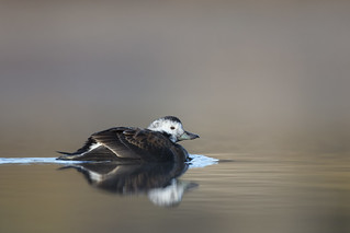 Harelde kakawi / Long-tailed Duck