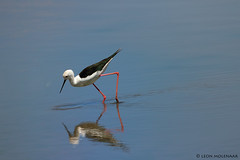 Black-winged Stilt (leendert3) Tags: leonmolenaar nature wildlife birds southafrica krugernationalpark ngc npc specanimal coth5