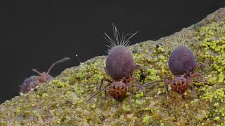 Dicyrtoma fusca (Kugelspringer) collembola
