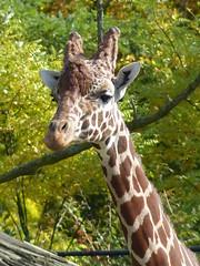 Netzgiraffe (1,0) (Chriest) Tags: diergaardeblijdorp netzgiraffe giraffacamelopardalisreticulata