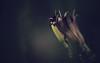 Fanfare for the night (akigabo) Tags: montreal nature summer night flora flower light shadows canon t5i 250mm akigabo plants dof digital trio dusk 7dwf selectiveconceptualdof