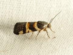 Spragueia Moth