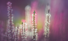 Heather (Dhina A) Tags: sony a7rii ilce7rm2 a7r2 helios442 58mm f2 helios44258mmf2 prime manuallens russian zeissbiotarcopy m42 heather flower