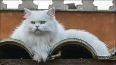 GATO (BLAMANTI) Tags: gatos mascotas domestico compañia animalesdecompañia blanco hermoso hermosa linda lindo canon canonpowershotsx60 felinos