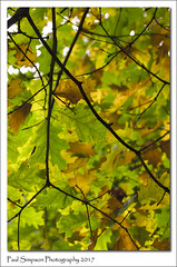 October Colours (Paul Simpson Photography) Tags: tree leaves leaf autumncolour color fallcolor nature naturalworld sonya77 sonyphotography imagesof imageof photoof photosof branch woodland forest autumnal october 2017 paulsimpsonphotography treecanopy autumninengland fallinengland europe