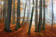 another day ... another forest ... (Sandra Bartocha) Tags: sandrabartocha forest woods autumn fall beechforest herbst buchenwald wald nebel mist fog foggy