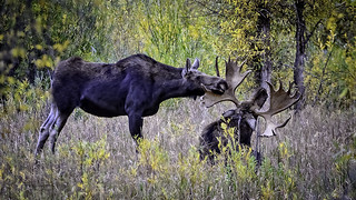 Looks like this Cow Moose has made her choice of this Bull Moose to be her suitor.