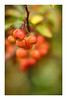 24/31: Autumn paints in colours that summer has never seen (judi may) Tags: octoberamonthin31pictures crabapples autumn red green yellow bokeh dof depthoffield canon7d 50mm ickleford hertfordshire