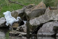 Little Egret & friend ! (Knutsfordian) Tags: littleegret kingfisher alcedo atthis bird wader egrettagarzettaegret