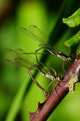 DSC06743 - Willow Emeralds (steve R J) Tags: willow emeralds south hanningfield reservoir ewt reserve essex damselfly british odonata ovipositing bramble
