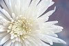 White Chrysanthemum (linda.addis) Tags: ourdailychallenge odc chooseacolour chrysanthemum