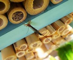 Ichneumon  Wasp Ephialtes manifestator  female parasitising solitary bee pupae (gailhampshire) Tags: ichneumon wasp ephialtes manifestator female parasitising solitary bee pupae taxonomy:binomial=ephialtesmanifestator