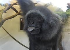 Grey gibbon with attitude (blue33hibiscus) Tags: monkey greygibbon paigntonzoo attitude devon