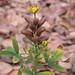 Crotalaria goreensis Guill. & Perr. Fabaceae