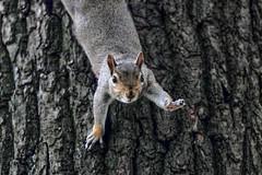 hey ya (Paul Wrights Reserved) Tags: squirrel mammal cute waving hanging hang upsidedown bark tree trunk treetrunk greysquirrel paw paws claws ears fur eyes nose animal animals animalantics