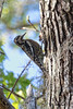 Juvenile Yellow-bellied Sapsucker (TomLamb47) Tags: nature wildlife bird ybsa yellowbellied sapsucker wildwood florida fl canon 1dmarkiv 1d4 100400mm