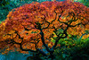 Colour Soup (cristian_jordache) Tags: seattle kubota garden autumn fall 2017 colorful sony a6000 ilce6000 sigma 30mm prime leaves orange punchy tree lake evening japanese maple