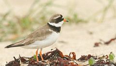 Ringed Plover (Charadrius hiaticula) Orkney 2017. (Sandra Standbridge.) Tags: ringedplover charadriushiaticula bird animal wildandfree wild wader outdoor orkney orkneyisland nature seaweed seaside sand beach