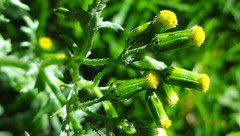 DSC05267b (alfredoeloisa) Tags: plantas plantasterrestres plantasvasculares traqueofitas angiospermas plantae tracheophyta tracheobionta magnoliopsida