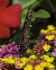 MonarchButterfly_SAF3499 (sara97) Tags: danausplexippus butterfly copyright©2017saraannefinke endangered insect missouri monarch monarchbutterfly nature photobysaraannefinke pollinator saintlouis towergrovepark