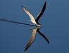 Reflections of a Skimmer (Darts5) Tags: blackskimmer skimmerbirds skimmer skimming skimmers bird birds birdinflight bif t2i ef100400mm canon