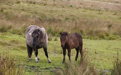 Wet 'n' Wild (defblow) Tags: dartmoor pony soggy wet devon outdoor day wild pregnant foal mare grey