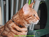 gio_k2_2017_08_350 (giordano torretta alias giokappadue) Tags: abetone bengala gastone gatto kat
