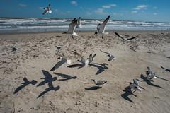 Seagulls - Mustang Island State Park - Nueces County - Texas - 25 February 2017 (goatlockerguns) Tags: beach mustang island state park nueces county texas seagulls padreisland nature natural usa unitedstatesofamerica south southern gulfofmexico coast coastal