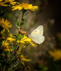 Go Gold (Portraying Life, LLC) Tags: dbg6 da3004 hd14tc k1 michigan pentax ricoh unitedstates butterfly closecrop handheld nativelighting matthaeibotanicalgardens wild