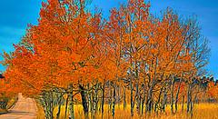 An Autumn Redo (Kuby!) Tags: kubitschek kuby nikon d70 october 2015 colorado rampart range road front autumn redo topaz studio scenery abstract tree orange