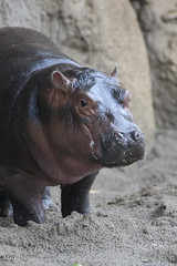234A6438.jpg (Mark Dumont) Tags: animals cincinnati dumont fiona hippo mammal mark river zoo
