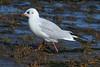 Black Headed Gull. (stonefaction) Tags: birds nature wildlife fife scotland balgove bay st andrews black headed gull